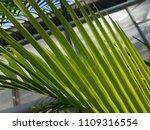 chamaedorea green background | Shutterstock . vector #1109316554