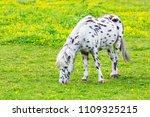 black spotted white pony eating ...   Shutterstock . vector #1109325215