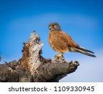 a rock kestrel  falco rupicolus ...   Shutterstock . vector #1109330945