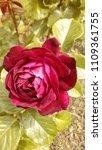 flowering english red abundance ...   Shutterstock . vector #1109361755