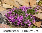 pink phlox flowers on flowerbed ... | Shutterstock . vector #1109394275