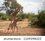 baby giraffe or giraffa ...   Shutterstock . vector #1109398325
