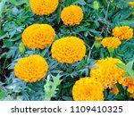 blossoming flowers of orange... | Shutterstock . vector #1109410325