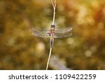 the four spotted chaser ... | Shutterstock . vector #1109422259