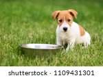 Stock photo hungry dog puppy sitting near his dish and waiting for food 1109431301