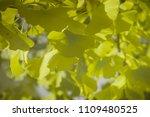 ginkgo biloba foliage with... | Shutterstock . vector #1109480525