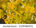 ginkgo biloba yellow foliage in ... | Shutterstock . vector #1109480531