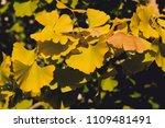ginkgo biloba autumnal leaves... | Shutterstock . vector #1109481491