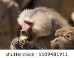baboons in the wild | Shutterstock . vector #1109481911