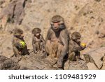 baboons in the wild | Shutterstock . vector #1109481929