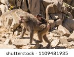 baboons in the wild | Shutterstock . vector #1109481935
