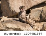 baboons in the wild | Shutterstock . vector #1109481959