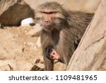 baboons in the wild | Shutterstock . vector #1109481965