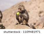 baboons in the wild | Shutterstock . vector #1109481971