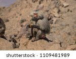 baboons in the wild | Shutterstock . vector #1109481989