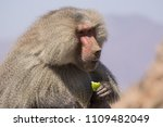 baboons in the wild | Shutterstock . vector #1109482049