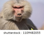 baboons in the wild | Shutterstock . vector #1109482055