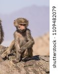 baboons in the wild | Shutterstock . vector #1109482079