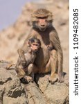 baboons in the wild | Shutterstock . vector #1109482085
