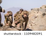 baboons in the wild | Shutterstock . vector #1109482091
