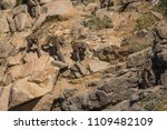 baboons in the wild | Shutterstock . vector #1109482109
