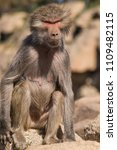 baboons in the wild | Shutterstock . vector #1109482115