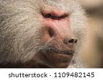 baboons in the wild | Shutterstock . vector #1109482145