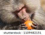 baboons in the wild | Shutterstock . vector #1109482151