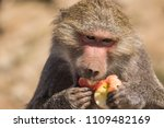 baboons in the wild | Shutterstock . vector #1109482169