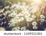 field of daisy flowers against...   Shutterstock . vector #1109521301