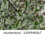 branch with fresh bloom  of... | Shutterstock . vector #1109548367