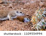 pair of round tailed ground... | Shutterstock . vector #1109554994