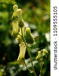 Small photo of Aconitum lycoctonum; Yellow alpine meadow flower on the Hoher Kasten