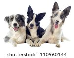 Stock photo portrait of purebred border collies in front of white background 110960144