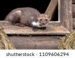 stone marten  martes foina ...   Shutterstock . vector #1109606294
