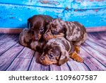 puppies dachshund marble color | Shutterstock . vector #1109607587