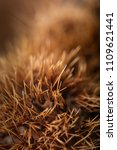 Small photo of Selective focus on the spines of a chestnut burr with copy space on a blurred background. Species: Castanea Sativia.