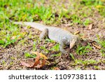 varanus lizard in the... | Shutterstock . vector #1109738111