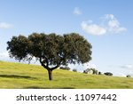 Oak Tree   Quercus Ilex   In A...