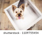 yorkie dog sitting on a photo... | Shutterstock . vector #1109755454