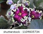 Saintpaulia  African Violets ...