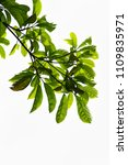 golden green leaves and... | Shutterstock . vector #1109835971