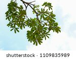 golden green leaves and... | Shutterstock . vector #1109835989