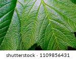 green leaf with veins close up | Shutterstock . vector #1109856431