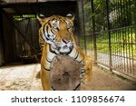 tiger in nature | Shutterstock . vector #1109856674