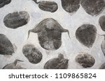 Petrified Fossil Trilobites In...