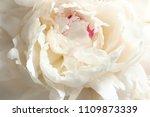beautiful blooming peony flower ... | Shutterstock . vector #1109873339