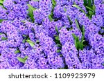 background hyacinth flowering... | Shutterstock . vector #1109923979