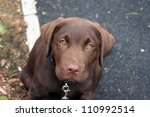 Stock photo chocloate labrador looking up at camera whilst out on a walk 110992514