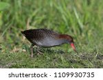 Small photo of Slaty Breasted Crake: a beautiful and large Crake found in wetlands of Thailand; it is very skittish and just by the sight of humans, it will retreat deep inside its habitat.